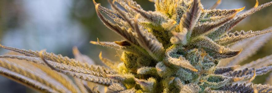 Les produits du cannabis thérapeutique